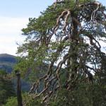fjällnära urskogstall 1280x1024