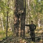 jätteasp i Norrbotten (1) 1280x1024