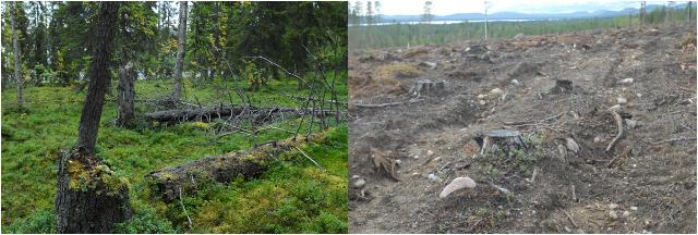 urskog vs kalhygge
